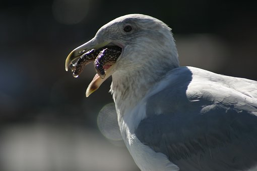 Seagull, Bird, Nature, Gull, Sea, Wings, Wildlife
