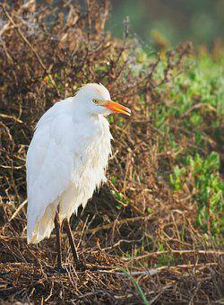 Intermediate Egret, Bird, Egret, White, Heron, Nature