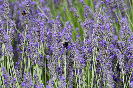 Lavender, Flower, Hummel, Insect, White, Nature