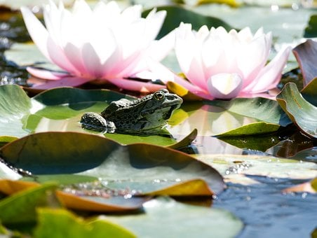 Frog, Pond, Water, Amphibian, Water Frog, Lily Pad