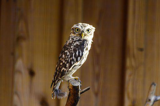 Bird, Little Owl, Nature, Owl, Animal, Animal World