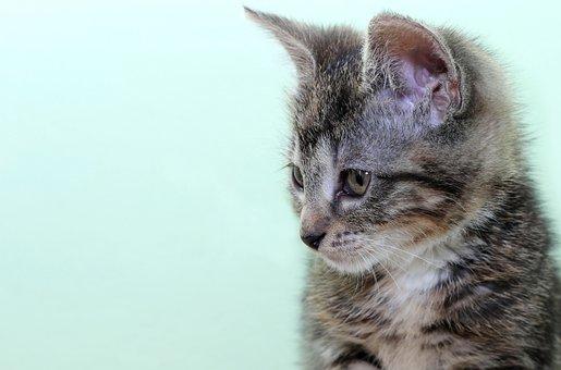 Cat, Domestic Cat, Pet, Cat Face, Mackerel, Cat's Eyes