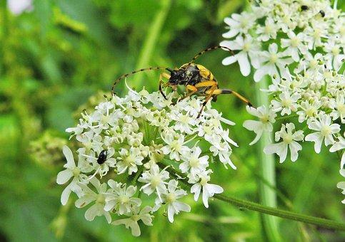 Beetle, Longhorn Beetle, Insect, Nature, Animal, Macro
