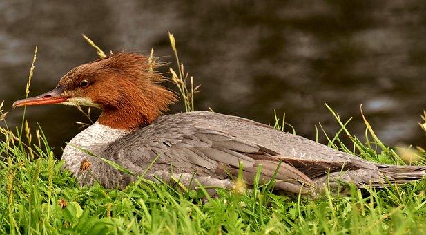 Merganser, Mergus Merganser, Duck Bird, Duck, Males