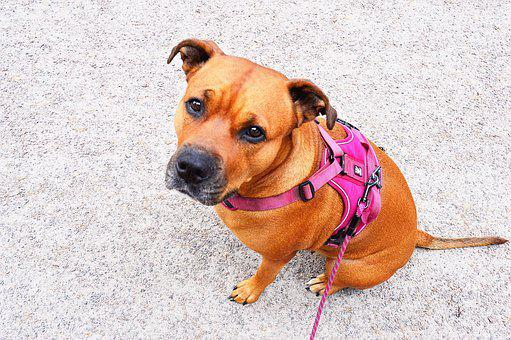 Dog, Doggie, Adult, Amstaff, Rottweiler, Mixed Race