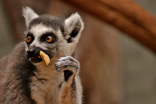Monkey, Lemur, Cute, Eat, Zoo, äffchen, Sweet, Animal