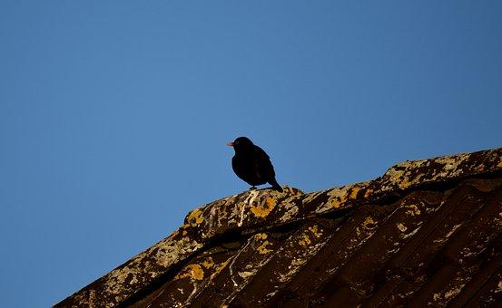 Blackbird, Black, Roof, Sky, Bird, Animal, Bill, Nature