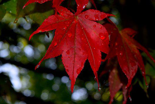 Leaf, Red, Dew, Drops, Nature, Autumn, Plant, Colorful