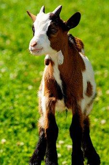 Goat, Green, Grass, Animal, Nature, Cute, Farm, Meadow
