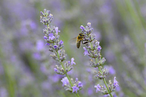 Lavender, Flower, Bee, Insect, Nature, Blossom, Bloom