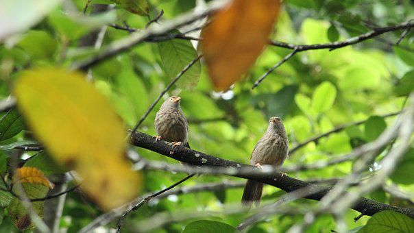 Bird, Pair, Babbler, Nature, Outdoor, Wilderness, India