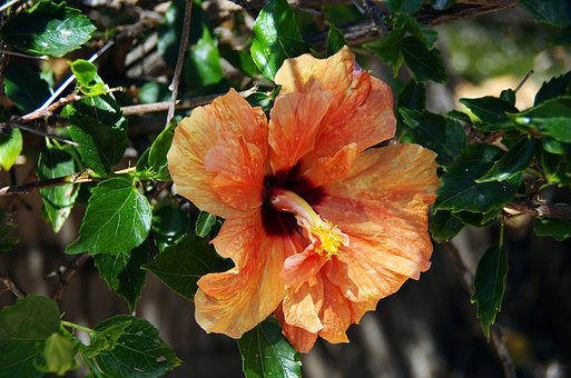 Hibiscus, Flower Double, Orange, Crumpled Up, Pistil