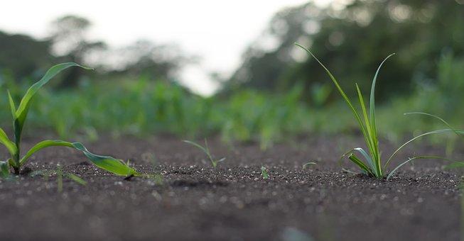 Grass, Small, Nature, Cute, Soil, Corn, Plant, Field