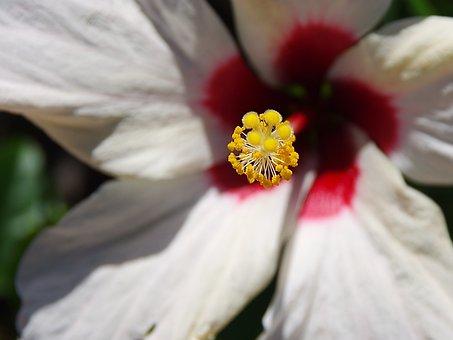 Hibiscus, Pistil, Stamens, Pollen, Pollination, Red