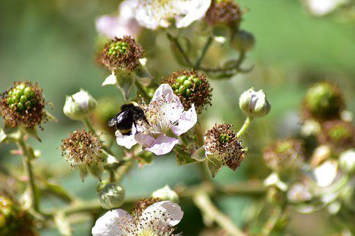 Bee, Blackberries, Insect, Pollination, Blossom, Green