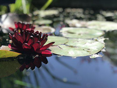 Lily, Red, Pond, Meditation, Water