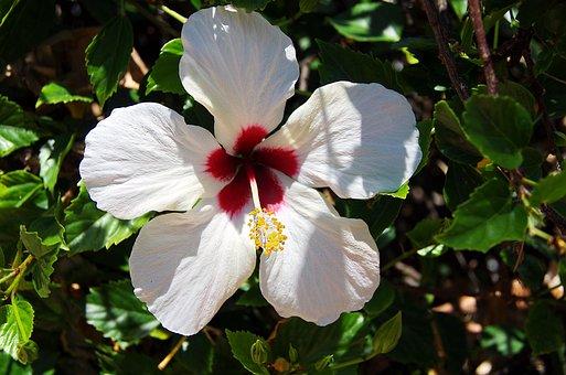 Hibiscus, Flower, White, Throat, Red, Pistil, Stamens