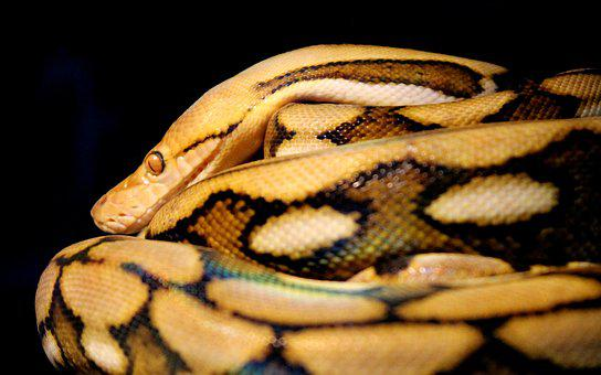 Reticulated, Python, Snake, Reptile, Animal, Scales