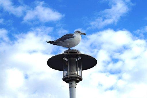 Bird, Seagull, Sea, Water Bird, Sky, Seevogel, Air