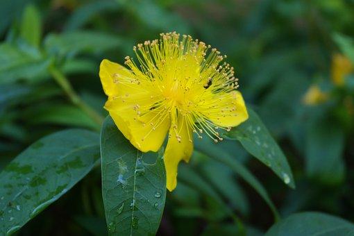 St John's Wort, Herb, Medicine, Natural, Flower, Yellow