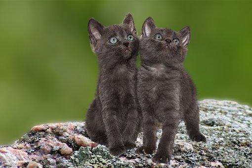 Cat, Kittens, Pet, Kitten, Sweet, Fluffy, Dear, Two