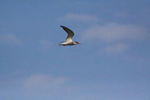 Tern, Bird, Nature, Animal World, Fly, Wing
