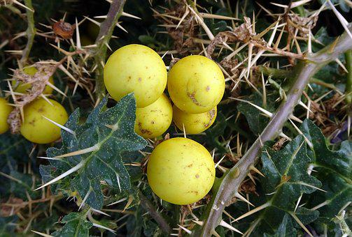 Thorny Nightshade, Yellow Berried Nightshade