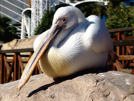 Pelikan, Tiergarten, Nature, Water Bird, Bird