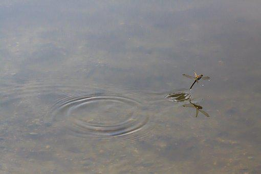 Dragonfly, Odonata, Wedding Dance, Mating Dance, Insect