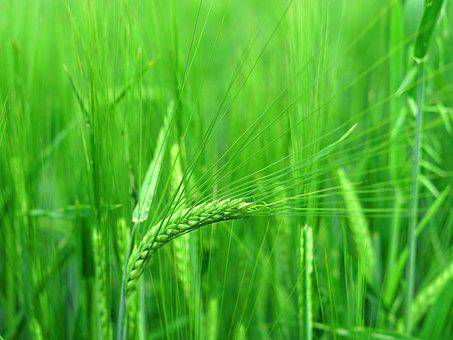Ear, Stalk, Grain, Harvest, Agriculture, Wheat, Cereals