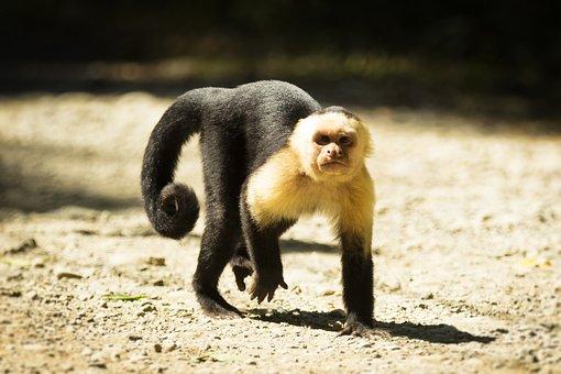 Costa Rica, Monkey, Wild