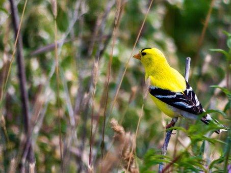 Goldfinch, Finch, Bird, Wildlife, Songbird, Animal