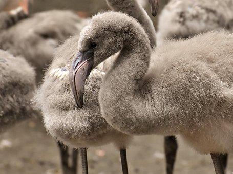 Flamingo, Young Animal, Chicks, Bird, Grey, Feather