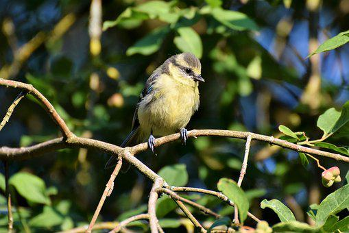 Blue Tit, Young Blue Tit, Tit, Small Bird, Songbird