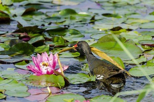 Water Lilies, Pond, Moorhen, Young, Bird, Chicks