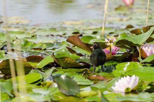 Water Lilies, Young Animal, Pond, Moorhen, Young, Bird