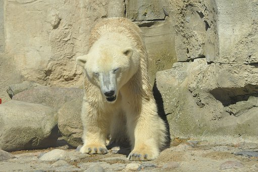 Polar Bear, Zoo, Bear, Claws, Paws, Furry