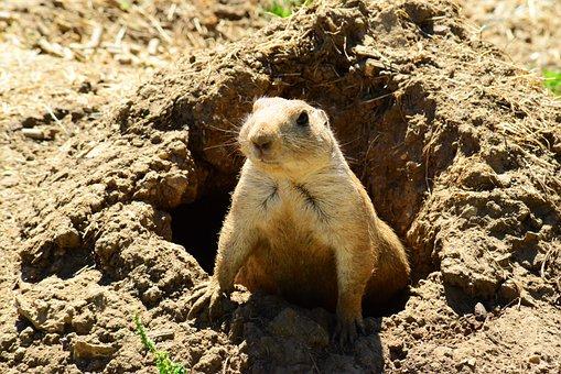Prairie Dog, Animal, Mammal, Fur, North America