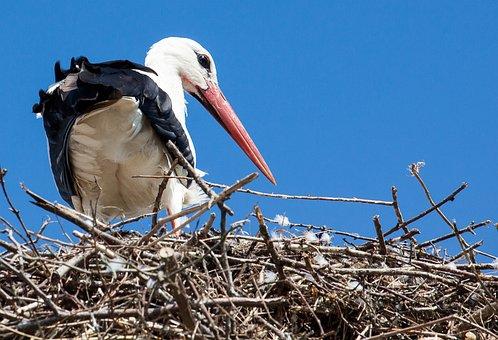 Stork, Animal, Rattle Stork, White Stork, Birds