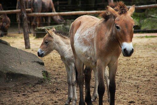 Horse, Zoo, Wild Horse, Animal, Nature, Robust, Mammal