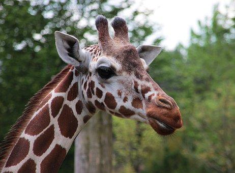Giraffe, Zoo, Animal, Wild Animal, Stains, Mammal
