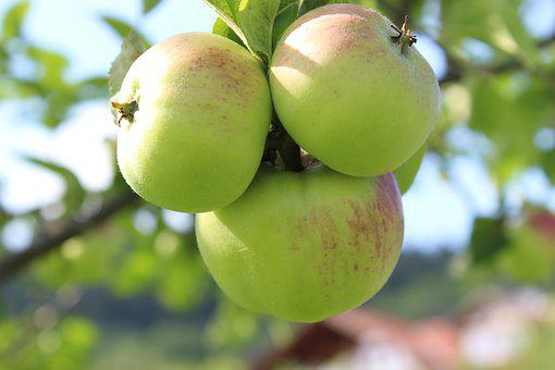 Apple, Apple Tree, Fruit, Food, Bio, Kernobstgewaechs