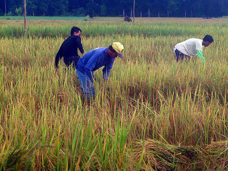 People, Planting, Rice, Outside, Outdoor, Asia