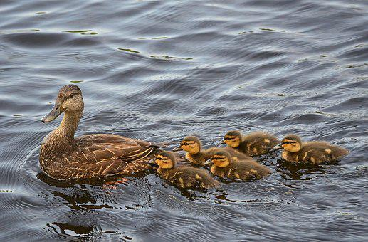 Black Ducks, Ducklings, Baby, Ducks, Birds, Water