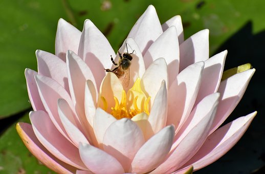 Water Lily, Plant, Bee, Aquatic Plant, Teichplanze