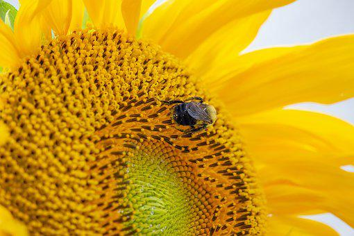 Sunflower, Plants, Bees, Trees, Seed, Summer, Bloom