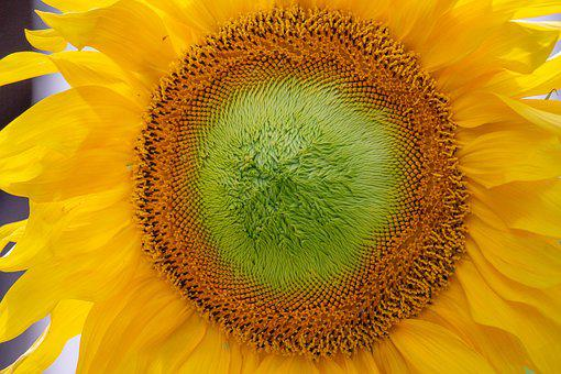 Sunflower, Plants, Green, Trees, Seed, Summer, Bloom