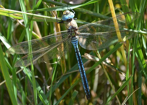 Dragonfly, Blue Dragonfly, Insect, Wing, Nature