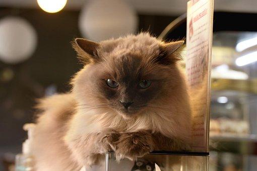 Cat, Café, The Interior Of The, Gaze