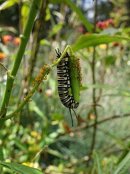 Caterpillar, Monarch, Garden, Green, Wildlife, Bug